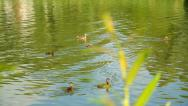 Stock Video Footage of Ducks with ducklings at river