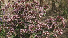Oregano, Origanum vulgare, in herb garden, zoom out Stock Footage