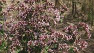 Stock Video Footage of Oregano, Origanum vulgare, in herb garden, zoom out