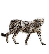 watercolor image of cheetah - stock illustration