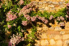 horizontal pic of climbing plant in stoned wall - stock photo