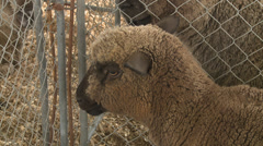 Colored sheep in cage looks at camera Stock Footage