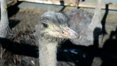Ostrich head closeup, african animals Stock Footage
