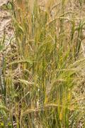 Barley stalks Stock Photos