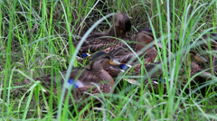 Wild duck hiding in the grass Stock Footage
