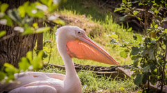 Great White Pelican (Pelecanus onocrotalus) Stock Footage