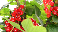 Detail of red currant,locked down Stock Footage