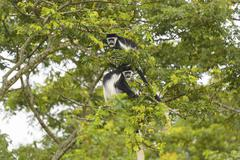 Black-and-white colobus monkeys in a tree Stock Photos