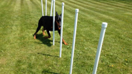 Stock Video Footage of Doberman Male Running Weave Poles, Agility