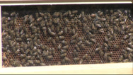 Stock Video Footage of honeybees in hive