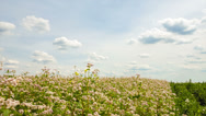 Field with blossoming buckwheat in Ukraine. Stock Footage