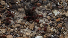 Red Harvester Ants collecting food. Stock Footage