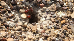Red Harvester Ants in Texas collecting food around nest Stock Footage