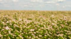 Buckwheat field on blue sky background Stock Footage