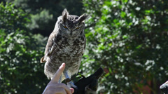 Close Up of a Spotted Eagle Owl Perching on a Man's Arm Stock Footage