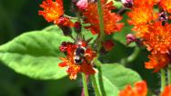 Stock Video Footage of Bumblebee Harvests Pollen from Vivid Orange Wild Flowers