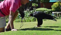 A Black Eagle (Verreaux's Eagle) Follows His Handler Lovingly Stock Footage