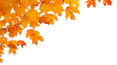 Maple leaves in Autumn isolated on white. Room for your Text. - stock footage