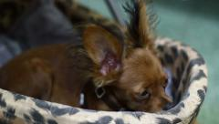 Toy Terrier Resting - stock footage