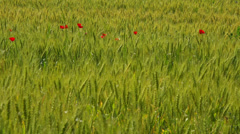 Summer nature landscape, poppies on wheat field, Tuscany, Italy. Stock Footage