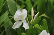 Stock Photo of Ginger Lily flower and bud,Butterfly Ginger,Butterfly Lily,Garland Flower