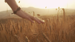 Hand on Cereal Field in Sunset Light Stock Footage