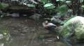 Single tropic duck in jungle habitat HD Footage