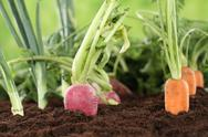 Stock Photo of healthy eating ripe vegetables in garden
