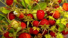 Many wild strawberries. Stock Footage
