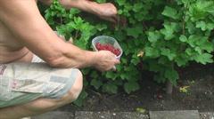 Maschio vomita rossa, ribes in giardino Stock Footage