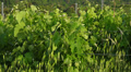 Summer nature landscape, green hills and vineyards of Tuscany, Italy. Footage