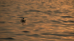 Gold Lake plant floating silhouette Stock Footage