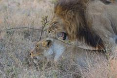 Male and female lion mating Stock Photos