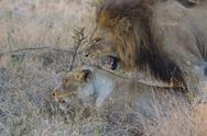 Stock Photo of male and female lion mating