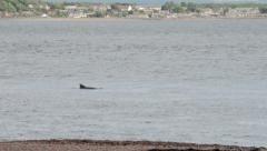 Dolphins appear at chanonry point, moray firth, inverness, scotland Stock Footage
