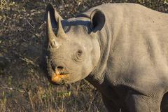 Stock Photo of black rhino in the wild