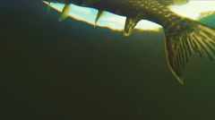 Stock Footage underwater caught pike fishing Stock Footage