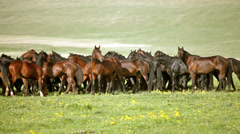 Herd of horses on a summer pasture. Caucasus, Karachay-Cherkessia Stock Footage