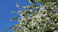 Breeze blowing on white blooming apple tree branches - stock footage