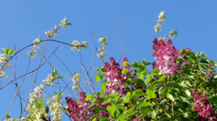 Lilac and cherry in a soft breeze Stock Footage