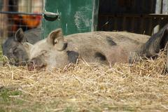 the sleeping pig - images from the farmyard - stock photo