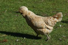 crested chicken - gallus gallus - images from the farmyard - stock photo