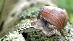 Apple snail - Helix pomatia Stock Footage