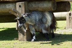 Domestic goat - capra aegagrus hircus at the farm Stock Photos