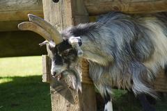 domestic goat - capra aegagrus hircus at the farm - stock photo