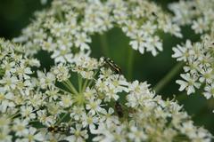 mirid bug - grypocoris stysi on umbellifers - stock photo