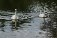 A pair of white mute swan - cygnus olor Stock Photos