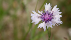 Bright pink cornflower (centaurea cyanus) close up shot Stock Footage