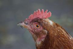 chicken - gallus gallus - images from the farmyard - stock photo