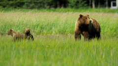Female Brown Bear Ursus arctos, keeping guard over her playful cubs Alaska, USA - stock footage